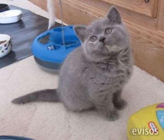 Gatitos pelo corto británico lindo