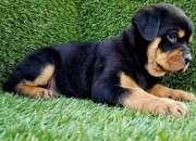 4 cachorros de rottweiler en venta 2 hombres y 2 mujeres