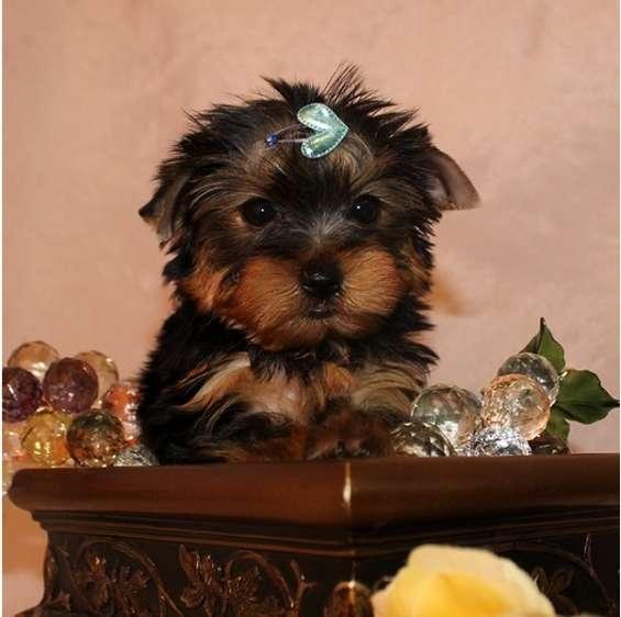 Navidad cachorros toy , de yorkshire terrier nb