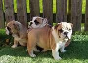 Linda maravillosos cachorros bulldog