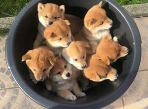 Cachorros shiba inu japoneses de excelente calidad