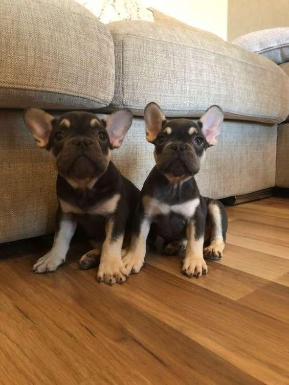 Preciosa camada de cachorros de bulldog