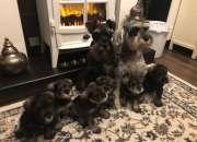 Hermosos cachorros de schnauzer miniatura registr…