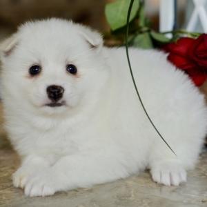 American eskimo puppies for sale